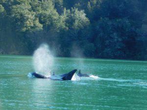 orca Pelorus Sound